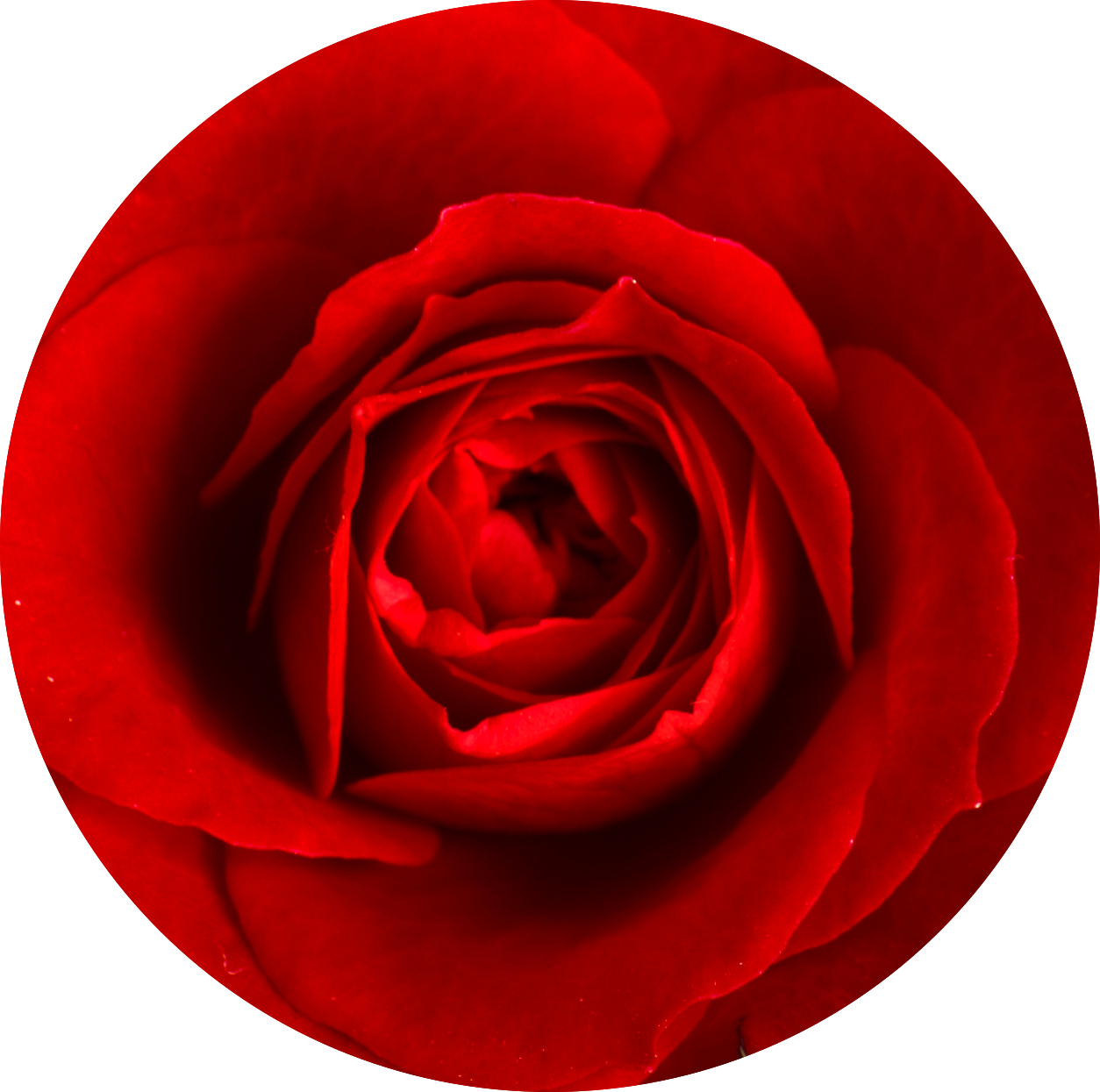 Cropped_Small_Red_Rose